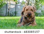 airedale terrier is a strong...   Shutterstock . vector #683085157