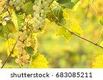 grapes growing in vineyard. | Shutterstock . vector #683085211
