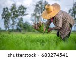 transplant rice seedlings in... | Shutterstock . vector #683274541