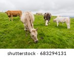 Landascapes Of Ireland. Cows...