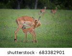 female impala with young... | Shutterstock . vector #683382901