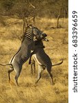 Small photo of Grevy's zebra, Aepyceros melampus, ENDANGERED, stallions, males, fighting, Samburu Game Reserve, Kenya, East Africa