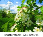 Flowers Of Midland Hawthorn ...