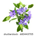 bouquet of blue periwinkle ... | Shutterstock . vector #683443705