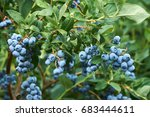Fresh Organic Blueberrys On The ...