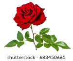 rose isolated on the white... | Shutterstock . vector #683450665