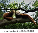 Pair Of Red Panda