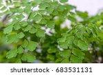 Small photo of Adiantum raddianum leafs, closeup