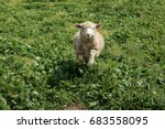 a baby sheep is running towards ... | Shutterstock . vector #683558095