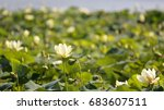 Small photo of American Lotus at Wapello State Park, Iowa, shallow depth of field