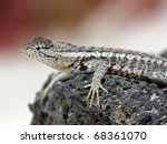 a lava lizard  tropidurus sp. ... | Shutterstock . vector #68361070