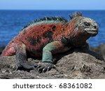 A Male Marine Iguana ...