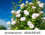 Stock photo flowering bush of a rose blooming in pink flowers buds of roses were blossoming on a bush in a 683638165
