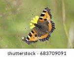 Small Tortoiseshell Butterfly...