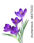 Stock photo crocus flower in the spring isolated on white 68373322