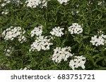 Small photo of Achillea biserrata