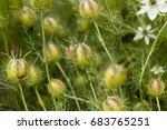 Seed Capsule Of Black Caraway ...
