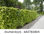 hedge of fagus sylvatica | Shutterstock . vector #683782804