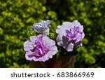 close up of a double petunia ...   Shutterstock . vector #683866969