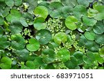 green leaves of water lilies... | Shutterstock . vector #683971051