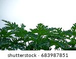 papaya leaves | Shutterstock . vector #683987851
