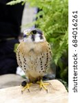 Small photo of American kestrel or Falco Sparverius was show in animal fair