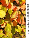 Small photo of Autumnal colored leaves of Amelanchier shrub in sunlight; Colorful autumn leaves; Fall foliage of shadbush