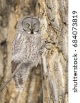 Great Grey Owl On Branch Of...