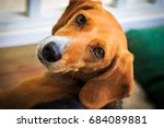 Small photo of Sweet Beagle dog looking into the camera with an adoring expression