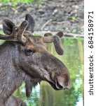 Small photo of Close-up of the moose buck (Alces alces)