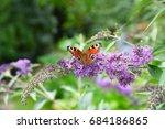 Peacock Butterfly On A Buddlej...