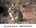 Young Cottontail Rabbit In...