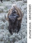 Small photo of Bison approaching viewer through sagebrush in park