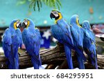 Flock Of Blue And Gold Macaw...