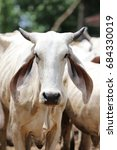 Small photo of Brahman cattle