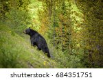 Wild Black Bear Walks Uphill I...