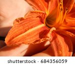 a flower of a tiger line in a... | Shutterstock . vector #684356059
