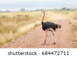 African Ostrich Or Common...