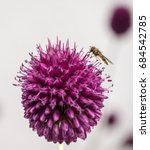 Allium And Bee At Two O'clock