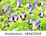 Small photo of VIOLA-WITTROCK-IANA GAMS.PANSY, LADIES-DELIGHT, HEART'S EASE. That is plant in VIOLACEAE family