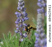 Bumble Bee Perched On A Lupine...