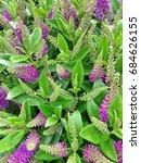 Wonderful Purple Colored Hebe...