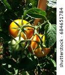 organic tomatos in the garden   Shutterstock . vector #684651784