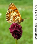 Small photo of Fritillry butterfly (Melitaea sp.) on Great burnet (Sanguisorba officinalis) flower