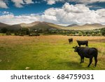Black Cows In Field Im Mourne...