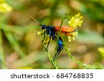 Small photo of Tarantula Hawk Wasp