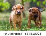 cute rhodesian ridgeback... | Shutterstock . vector #684810025