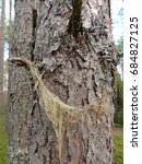 Small photo of Lichen whitening densely, Usnea dasypoga, on trunk of pine