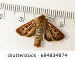 The nocturnal antler moth Cerapteryx graminis on a white background with a measuring tool