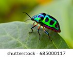jewel bug  chrysocoris stollii  ... | Shutterstock . vector #685000117